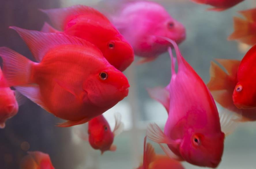 鹦鹉鱼为什么突然趴缸